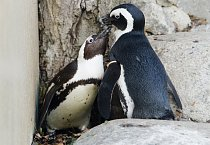 Pedro a Buddy byli po spáření se samičkami opět puštěni k sobě.