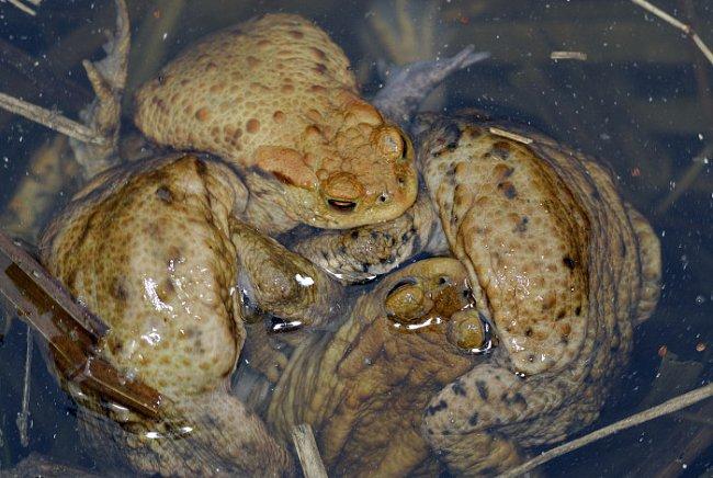 Samci ropuch obecných mohou při své hromadné snaze o spáření samici utopit