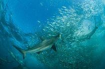 Velryby, delfíni, mořští ptáci a žraloci – jako tito žraloci mědění – následují každoroční tah sardinek na severovýchod podél pobřeží Indického oceánu. Tah je připomínkou bývalé hojnosti oceánů – a výzvou ktomu, abychom začali jednat vzájmu moří.
