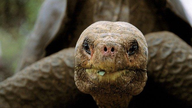 Osamělý George z Galapág zemřel. Vzácný želví samec se dožil 100 let