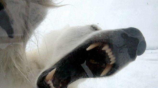 VIDEO: Polární medvěd se snažil zaútočit na filmaře. Marně, muž byl na útok připraven