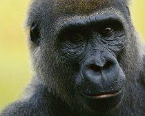 Gorila nížinná (Kongo)