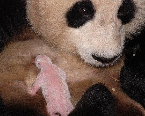 Pandí miminko