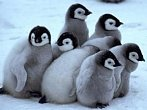 BBC: První krůčky tučňáků