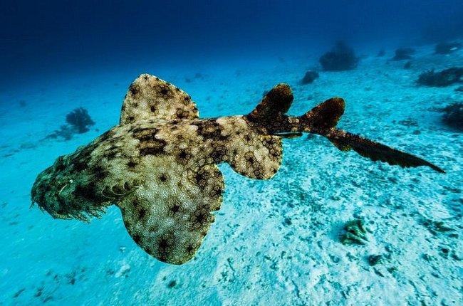 Raja Ampat, Indonésie: Tečkovaný žralok obrovský