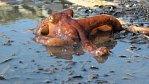 Chobotnice mohou chodit po souši. VIDEO jako důkaz
