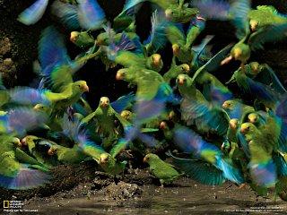 Papoušci (Národní park Yasuní, Ekvádor)