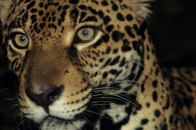 Jaguár (Panthera onca) je po tygrovi a lvovi největší kočkovitou šelmou. Svou kořist usmrcuje neobvyklým způsobem - prokousne jí lebku.