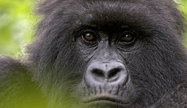 Jedinečné video: Nejohroženější gorily světa vyšly z pralesa. A vypadají spokojeně