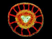 Příčný řez řapíkem marsilky pod fluorescenčním mikroskopem. Marsilka je mokřadní rostlina a tak se musí umět vypořádat s nedostatkem vzduchu v zaplavených částech - vyřešila to soustavou velkých inter