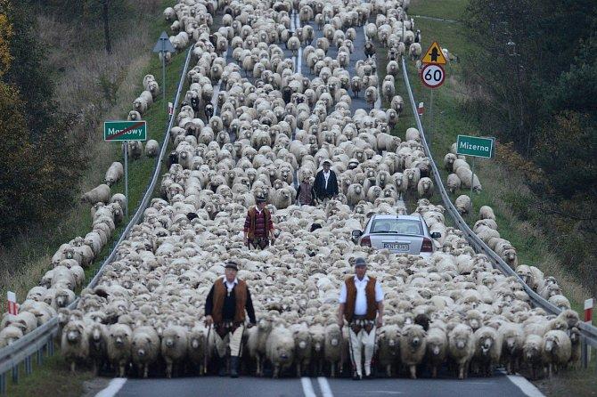 Když pastýři ženou svá stáda před zimou z kopců polských Karpat dolů do údolí, vozy obklopí tisíce zvířat a je jasné, kdo má přednost.