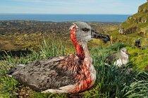 Myši zavlečené lidmi na subantarktický ostrov Marion asi před dvěma sty lety začaly v noci požírat mláďata albatrosa šedohlavého. Mládě není vybaveno instinktivním strachem z nového nebezpečí, a tak jen pasivně sedí, dokud zraněním nepodlehne.