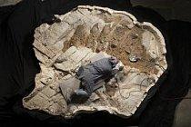 Preparátorka Amelia Madillová ze společnosti Research Casting International trpělivě odstraňuje přebytečnou horninu z hřbetního krunýře zuula. Na přípravě fosilie pracovalo pět techniků pod vedením Amelie Madillové po celý rok.