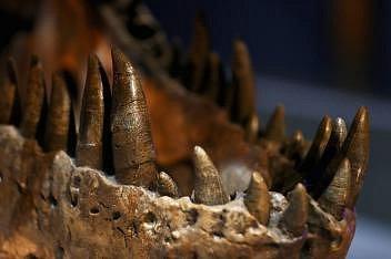 Detail zachycující hrozivé zuby a čelist samice druhu Tyrannosaurus rex, která dostala přezdívku Trix. Exponát je vystaven vPřírodovědném muzeu vholandském Leidenu.