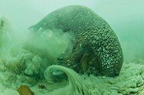 Samci čeří vodu azvedají ze dna mraky usazenin avyužívají při tom své vysoce citlivé vousy khledání zahrabaných mlžů.
