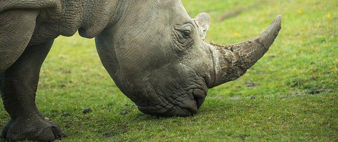 Roh nosorožce není vyplněn kostí, je tvořen pouze rohovinou.