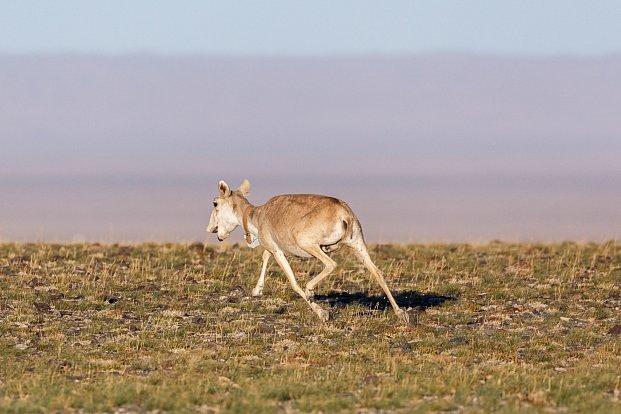 Češi pomáhají zachránit vzácný druh antilopy