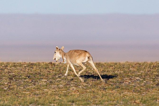Sudokopytníci, kteří vypadají jako zvířata z jiných časů, patří mezi kriticky ohrožené druhy.