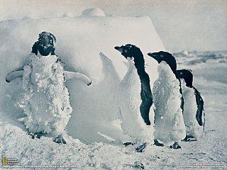 Tučňáci kroužkoví (Antarktida)