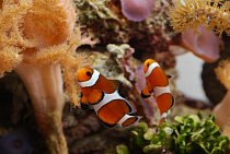 Clownfish amongst reef