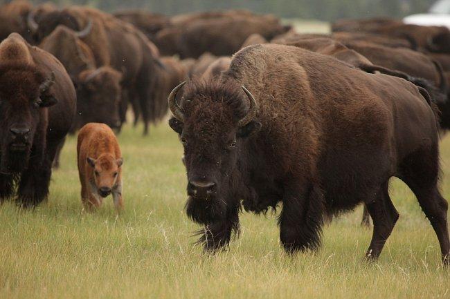 Bizon americký je největší zvíře amerického kontinentu.