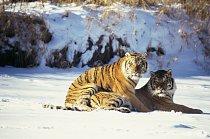 Tygr je největší a nejmohutnější kočkovitá šelma, samci váží přes 300 kilogramů. Samci jsou výrazně větší než samice: ty váží mazi 70 a 170 kilogramy. Samice se častokrát vydává sama na cesty a hledá