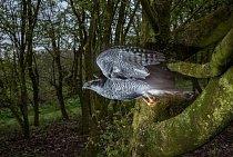 Ellie, samice jestřába lesního, přitiskla křídla k tělu a ve vysoké rychlosti prosvištěla úzkým otvorem. Letečtí odborníci říkají, že rychlí dravci posuzují hustotu stromů a intuitivně poznají, jak rychle mohou letět, aby v letu našli volný prostor.