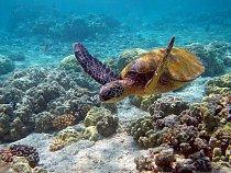 Mořské želvy se živí chaluhami, řasami, měkkýši, medúzami a rybami.