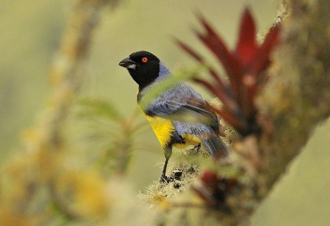 Tangara modrohřbetá (Buthraupis montana)