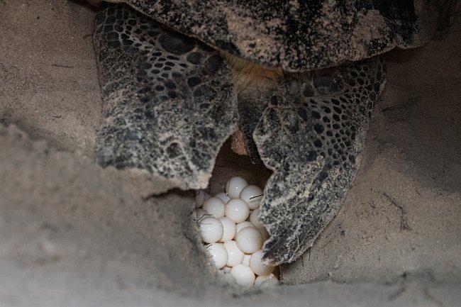 ...a pod rouškou tmy klade do písku vajíčka.