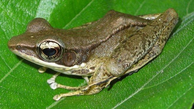Nejsmradlavější žáby světa ukrývají antibiotický poklad