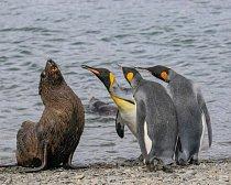 Já to nebyl, přísahám! Tito tučňáci patagonští v Jižní Georgii nebyli zřejmě nadšeni z přítomnosti lachtana.