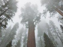 Živá koruna (tady na vrcholu Generála Shermana, uprostřed) byla dřív velkým tajemstvím. Nové výzkumy badatele Steva Silletta přinesly řadu objevů, například že i tyto staré stromy stále rychle přirůst