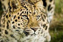Levhart patří mezi velké kočky, ale jinak nepatří k největším šelmám - jeho váha se pohybuje od 30 do 90 kilogramů.