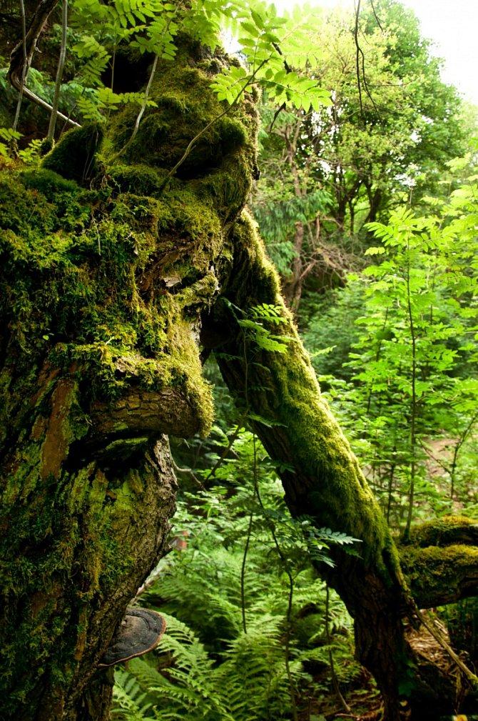 Na území Nového pralesa už dnes najdete pralesní stromy.