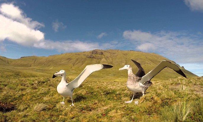 Párek albatrosů