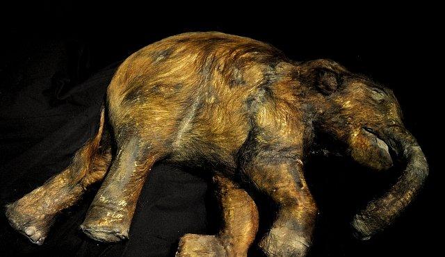 Mládě mamuta v ledu