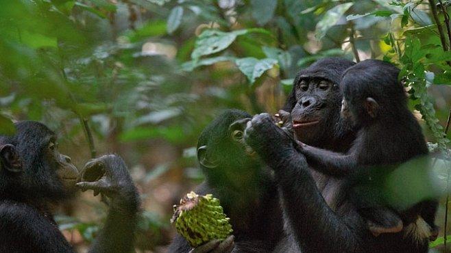 Za bonoby do pralesa: Mírumilovní lidoopi ukázali svoji pravou tvář. EXKLUZIVNĚ PRO NG