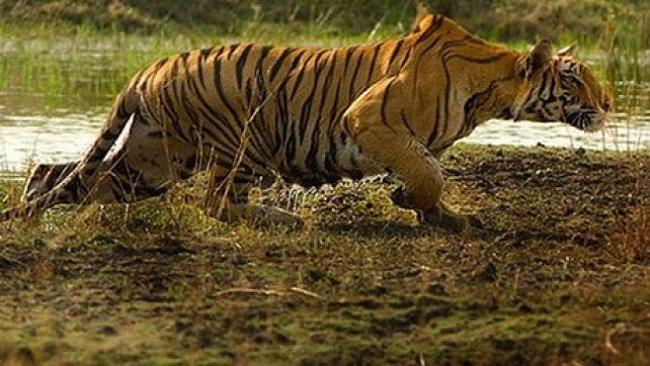 Machli – nejslavnější tygřice světa. Její příběh se chýlí ke konci…