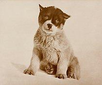 Expediční pes jménem Blizzard