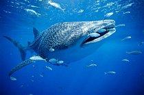 Západní Austrálie: Žralok bílý