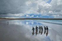 Tisíce párů tučňáků patagonských se potule po pláži na Volunteer Point na ostrově East Falkland. V 60. letech 19. století jich byly na ostrovech pozorovány jen malé počty, ale od 70. let 20. století jejich populace plynule roste.