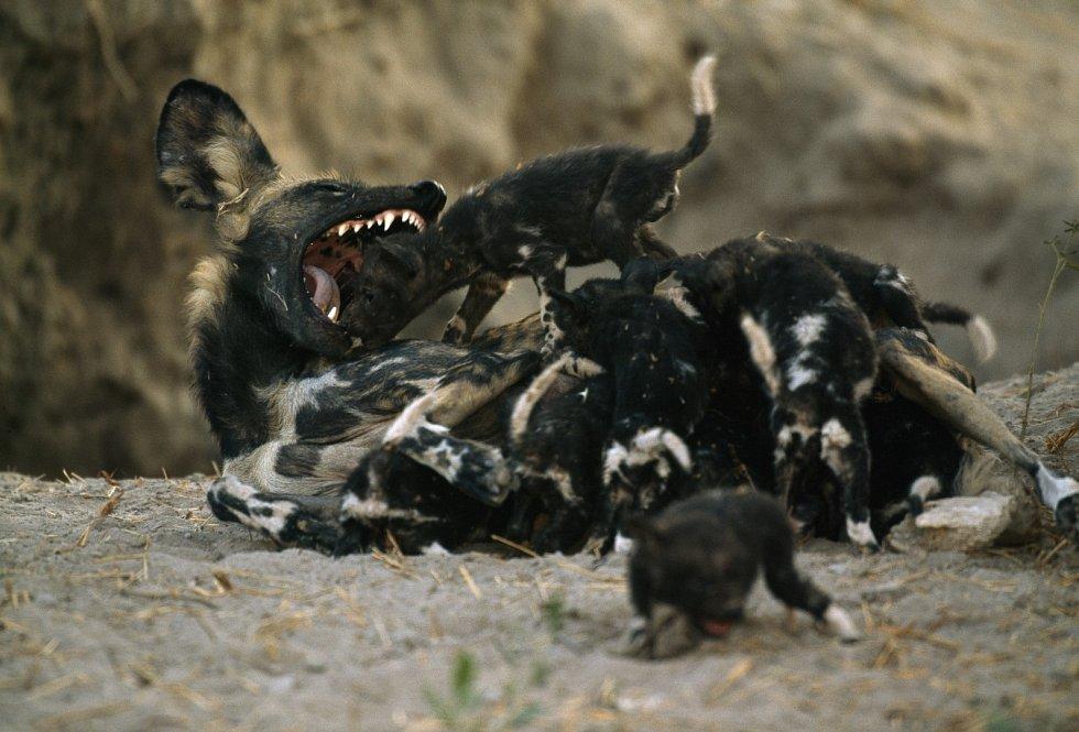 Pes hyenovitý hra