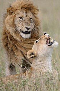 """""""Po všech těch letech mě ještě dokáže rozesmát,"""" říká lvice v keňské rezervaci Maasai Mara."""