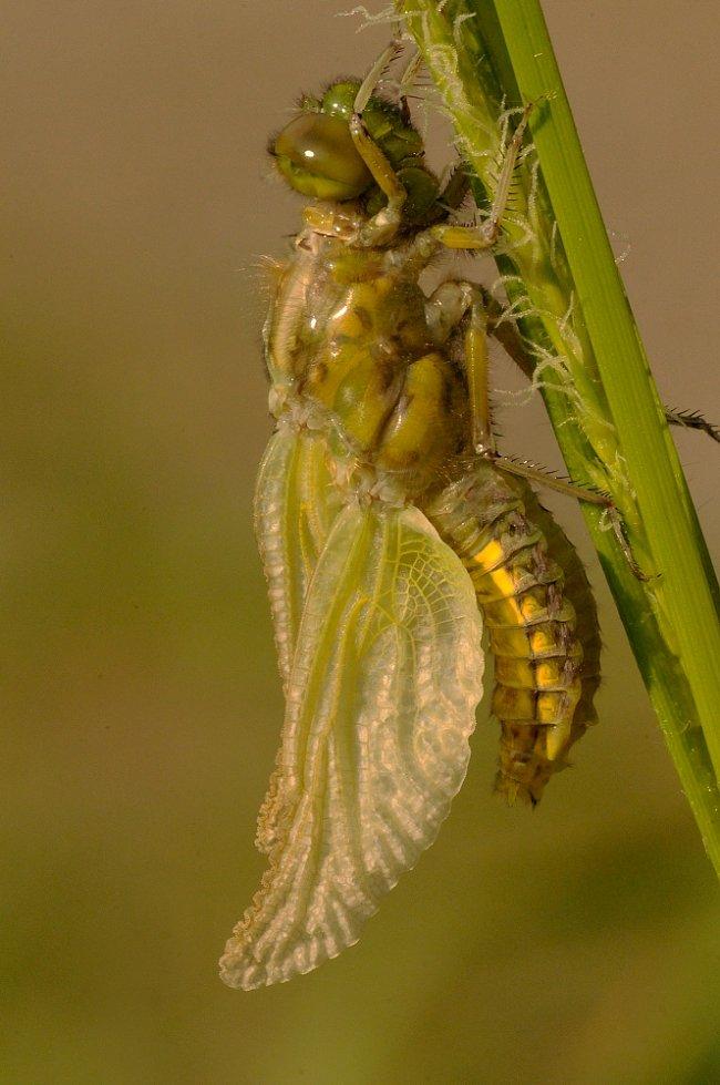 Čerstvě vylíhlá vážka.