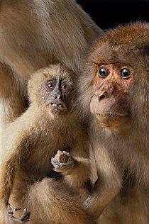 Japonsko bylo uzavřené většině cestovatelů ze Západu, když v roce 1829 Philipp Franz von Siebold, německý lékař a sběratel, dokázal přivézt ukázky japonské fauy a flory – včetně makaka japonského – do