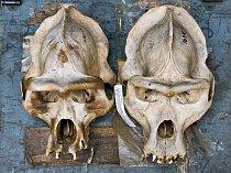 """Dvě gorilí lebky uložené nacestovní truhle jsou hmatatelným svědectvím oexpedici dozápadní Afriky, která se uskutečnila vletech 1934 až 1935. """"Nic se nevyrovná tomu, vidět skutečné  věci,"""" říká R"""