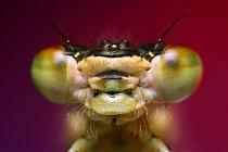 Z vajíčka se nejdřív vylíhne prelarva (bez  funkčních končetin),  po nějaké době (v rozmezí několika vteřin až po hodiny) promění v první larvární stádium, během kterého žije larva  ve vodě. Larvy jso