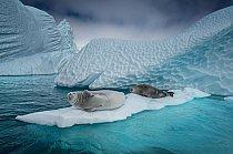 Tuleni krabožraví se vyškrábou na plovoucí kru, aby si zdřímli, nebo unikli před kosatkami či tuleni leopardími. (Všimněte si jizev). V okolí Antarktického poloostrova ubývá mořského ledu, a proto se kry stávají čím dál důležitějšími místy k odpočinku.