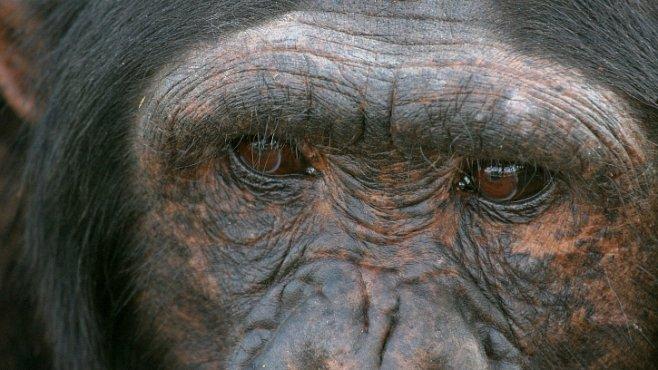 Šimpanzi mají vlastní policii. Řeší problémy v tlupě